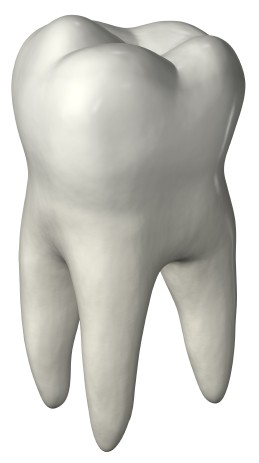 molar-teeth