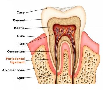 periodontal-ligament
