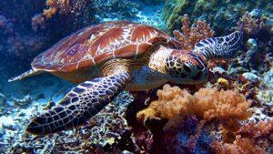 turtle-tubbataha